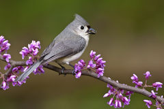 Tufted Titmouse on Redbud Stock Photo