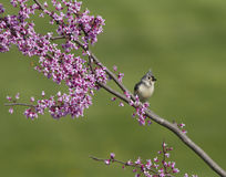 Tufted Titmouse on Redbud Branch Royalty Free Stock Photography