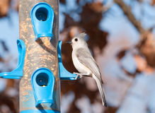 Tufted Titmouse sitting at a bird feeder Stock Photos