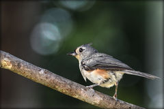 Tufted titmouse. Sitting on a branch Royalty Free Stock Image