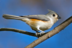 Tufted Titmouse. Sitting in a tree Stock Photos