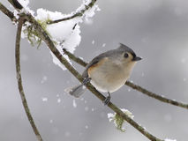 Tufted titmouse in snow Royalty Free Stock Image