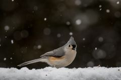 Tufted titmouse in the snow Royalty Free Stock Images