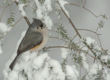 Tufted Titmouse in Snow Storm. Tufted Titmouse (Parus bicolor) perched on a snow covered Evergreen during a snow storm in winter royalty free stock photo