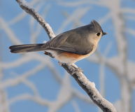 Tufted Titmouse On A Snowy Branch Royalty Free Stock Images