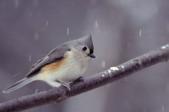 Tufted Titmouse on a Snowy Day. This poor little bird is seeking shelter from the blustery winter weather. Tufted Titmouse (Parus bicolor royalty free stock images