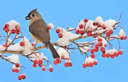 Tufted Titmouse On Snowy Hawthorn Branch Stock Photography