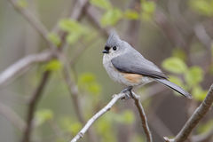 Tufted Titmouse in Spring. Tufted Titmouse (Baeolophus bicolor) perched on a branch in an oak savanna forest in spring - Grand Bend, Ontario, Canada Royalty Free Stock Photos