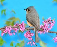 Tufted Titmouse at Spring Redbud Royalty Free Stock Photo
