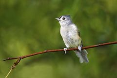 Tufted-titmouse Baeolophus bicolor perched on a tree branch near a feeder station on a rainy day. royalty free stock photos