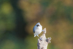 Tufted Titmouse stare Royalty Free Stock Images