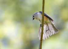 Tufted titmouse stretching its leg and wing Royalty Free Stock Photos