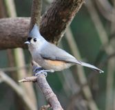 Tufted Titmouse. Such a beauty - Tufted Titmouse Stock Images