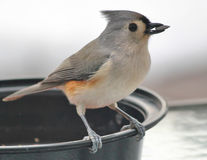 Tufted Titmouse with Sunflower Seed in Beak Royalty Free Stock Photo