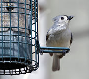 Tufted Titmouse with Sunflower Seed Stock Image
