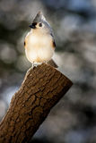 Tufted Titmouse. A Tufted Timouse perched in early morning Royalty Free Stock Photography