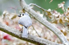 Tufted Titmouse. A tufted titmouse, Baeolophus bicolor, perched in a tree Royalty Free Stock Image