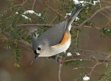 Tufted Titmouse in Winter. Tufted Titmouse (Parus bicolor) perched on an Evergreen during a light snow in winter stock photo
