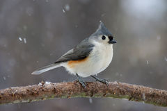 Tufted Titmouse in Winter. A Tufted Titmouse perched on a peach tree branch in the winter Royalty Free Stock Image