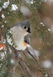 Tufted Titmouse in Winter Snow. Tufted Titmouse (Parus bicolor) perched on an Evergreen during a light snow in winter stock photos