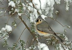 Tufted Titmouse in Winter Snow Storm. Tufted Titmouse (Parus bicolor) perched on a snow covered Evergreen during a snow storm in winter stock image