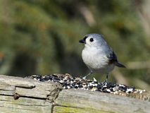 Tufted Titmouse on Wood Fence Stock Photos