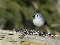 Tufted Titmouse on Wood Fence Royalty Free Stock Images