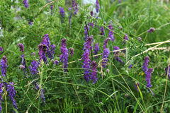 Tufted Vetch Stock Photography