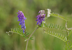 Tufted Vetch. Flowers - Vicia cracca Royalty Free Stock Photo
