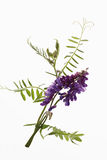 Tufted vetch against white background Stock Image