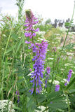 Tufted vetch or Bird vetch (Vicia cracca) Royalty Free Stock Photo