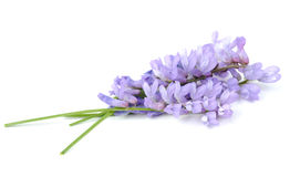 Tufted Vetch Flowers Isolated on White Background Royalty Free Stock Photos