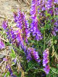 Cow Fetch weed wildflower in NYS. Tufted Vetch, Vicia cracca. Name also: Cow Vetch, Boreal Vetch, Bird Vetch USA Family: Pea Family – Fabaceae Leguminosae stock image