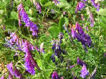 Bird Vetch is a purple flower weed vine Royalty Free Stock Image