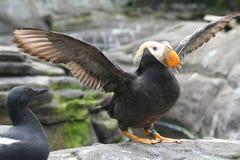 tufted vingar för flapping puffin Royaltyfri Fotografi
