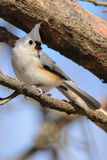 Tufted vogel van de Mees op tak Royalty-vrije Stock Afbeelding