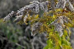 Tufts. On the branches of meadow plant stock images