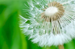 Tufts dandelion Stock Image