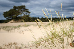 Tufts of gray hairgrass on a Sand Plain with Dunes in a Dutch na Stock Photo