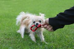 Tug of war with chihuahua Stock Photography