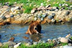 Tugga björnen Arkivbild