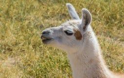 Tugga den vita laman i de Anderna bergen Royaltyfri Foto