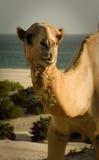 Tugga för kamel Royaltyfria Foton