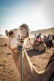 Tugga kamlet i den moroccan öknen Arkivfoto