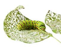 tuggaleaf för caterpillar Royaltyfria Foton