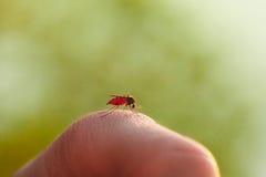 Tuggan av en mygga med blod på människokroppen Royaltyfria Bilder