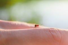 Tuggan av en mygga med blod på människokroppen arkivfoton