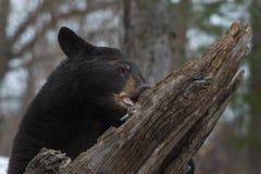 Tuggningar för Ursus för svart björn americanus på journalen arkivbild