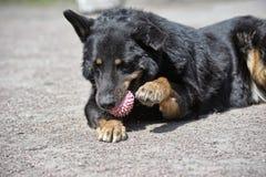 Tuggningboll för svart hund royaltyfri foto