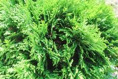 Tui分支,植物生长的绿色背景,阳光 图库摄影